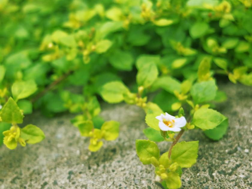 小さい花 白い花を際立たせるように