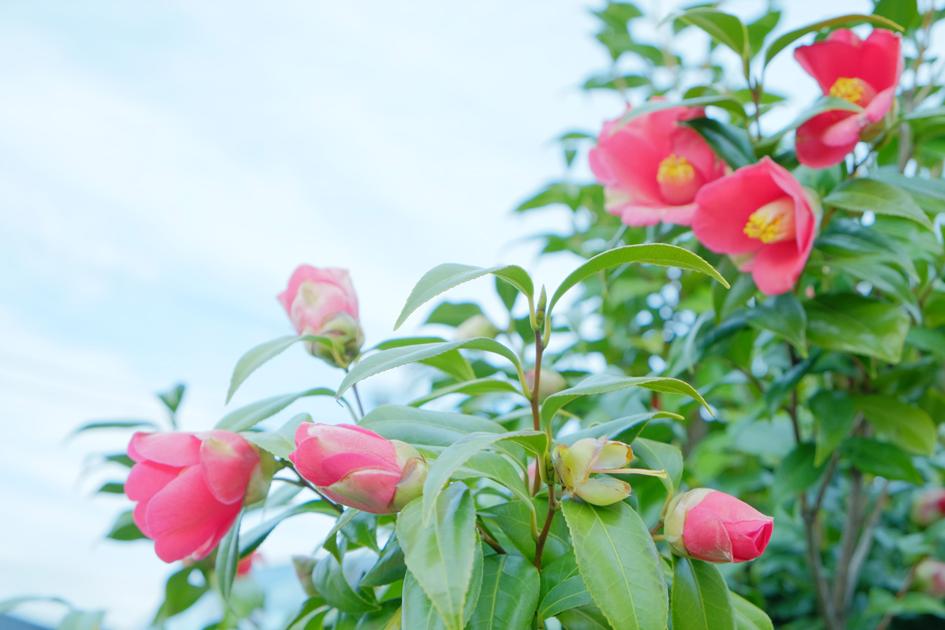 赤いお花 サザンカ