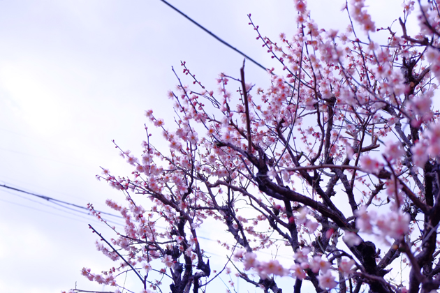 近所の桃 多分桃の木